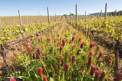 Crimson clover covers a row middle at de Lancellotti Family Vineyards in Newberg.  Photo by Andrea Johnson.