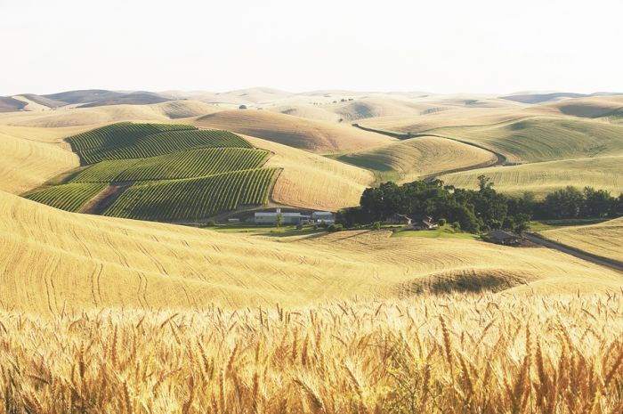 Spring Valley Vineyard in the Walla Walla Valley. Photo by Andrea Johnson.