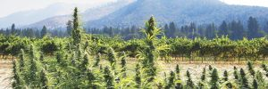 Southern Oregon licensed hemp field with grapevines in the background. ##Photo by Maureen Flanagan Battistella