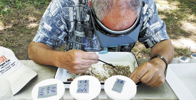 OSU and OWRI entomology researcher Rick Hilton examines soil for insect activity. ##Photo by Maureen Battistella
