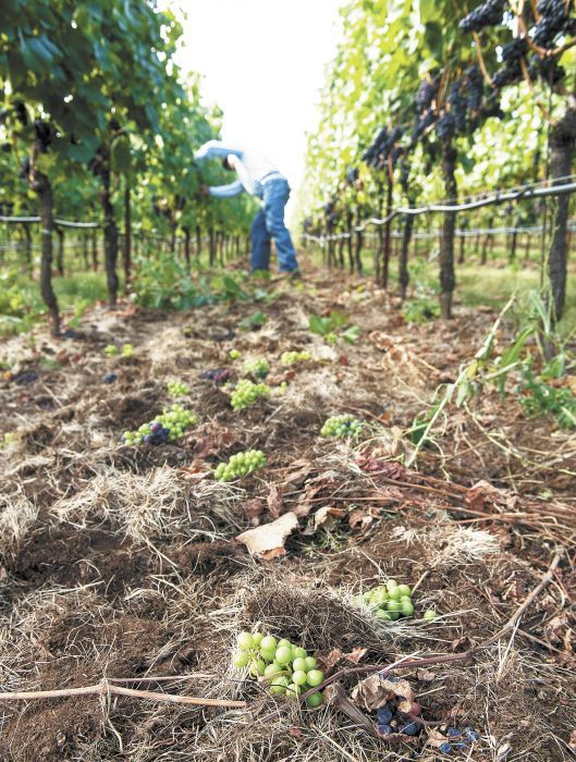 Thinning Pinot Noir grapes in the Atlas Vineyard Management vineyard near Salem. ##Photo by Lynn Ketchum; Oregon State University
